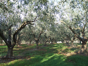 this is the olive grove where this twig grew