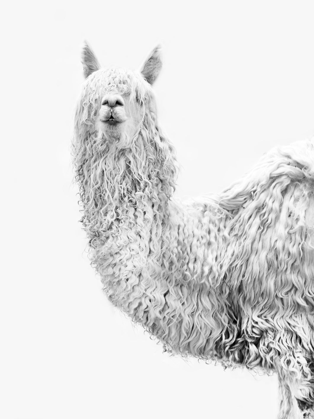 Alpaca II - Wall Art Black and White 75x100