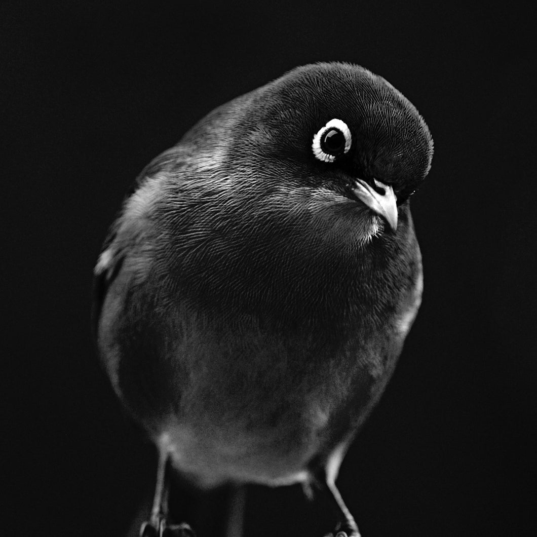 Silvereye - Wall Art - Black & White