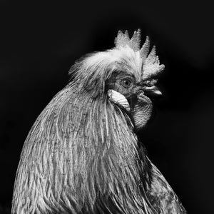 Hen - Wall Art - Black & White 40x40