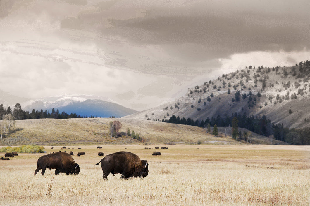 Wall Art - Bison - Core Frame - 90x60cm