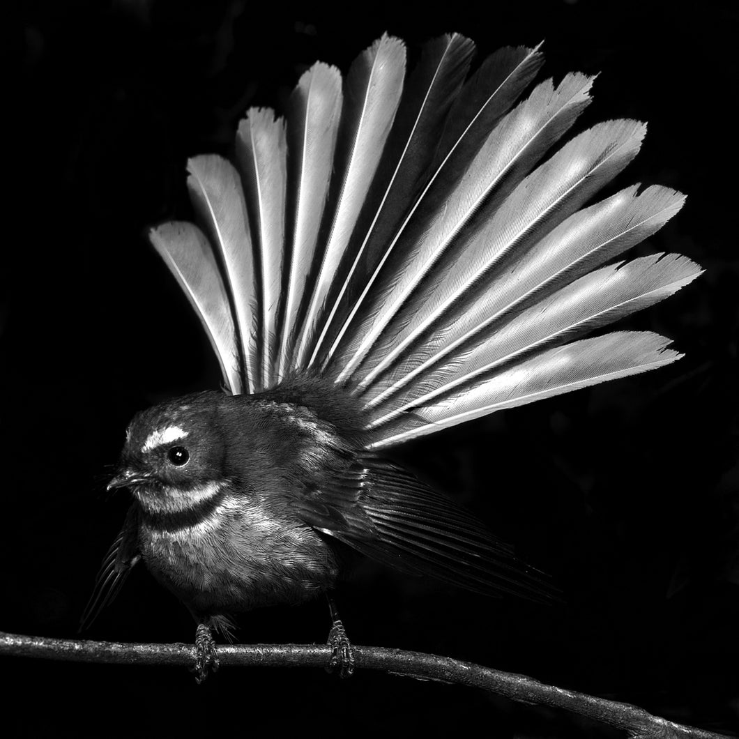 Fantail Black and White - 40x40cm