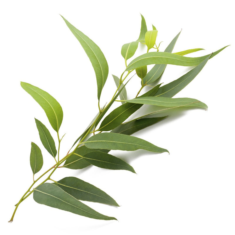 Essential Oil - Eucalyptus - with a strong crisp aroma