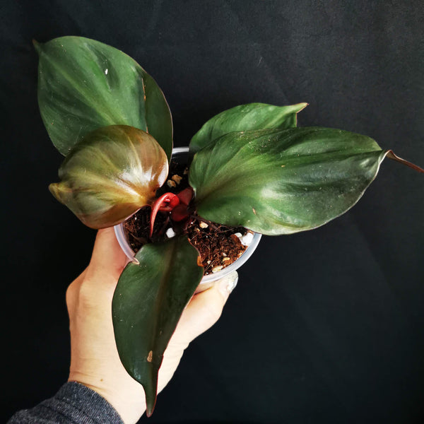 Philodendron Red Heart Imported