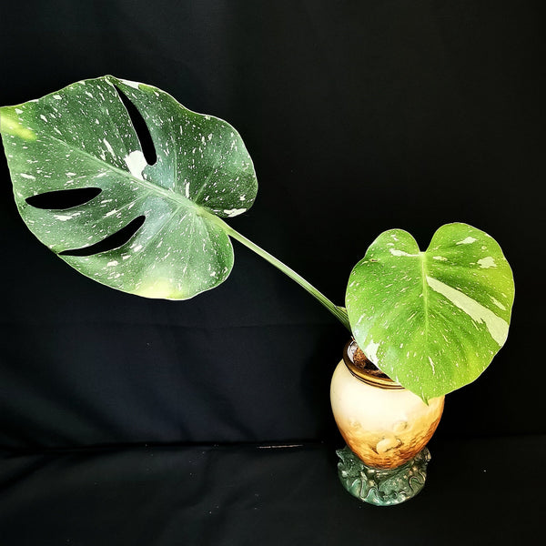 Pickup only - Monstera Thai Constellation