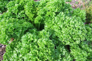 Lettuce Wasabi -  Organic Heirloom vegetable seed Australia LifeForce Seeds