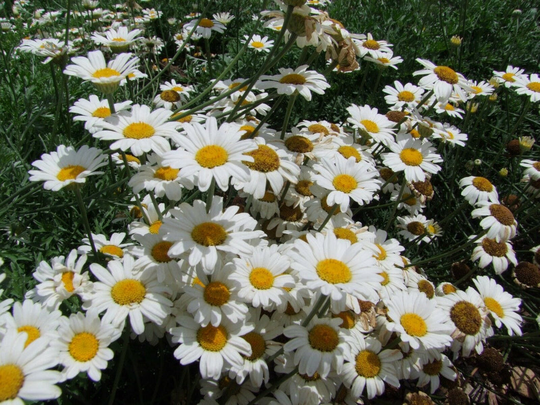 Pyrethrum True Insecticide Seedling - LifeForce Seeds
