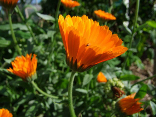 Calendula Officinalis -  Organic Heirloom vegetable seed Australia LifeForce Seeds