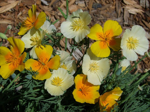California Poppy Lemon Sorbet Mix -  Organic Heirloom vegetable seed Australia LifeForce Seeds