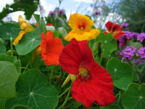 Nasturtium Jewel Mix - LifeForce Seeds