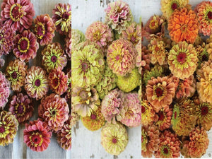 Zinnia, Queen Lime Antique Mix -  Organic Heirloom vegetable seed Australia LifeForce Seeds