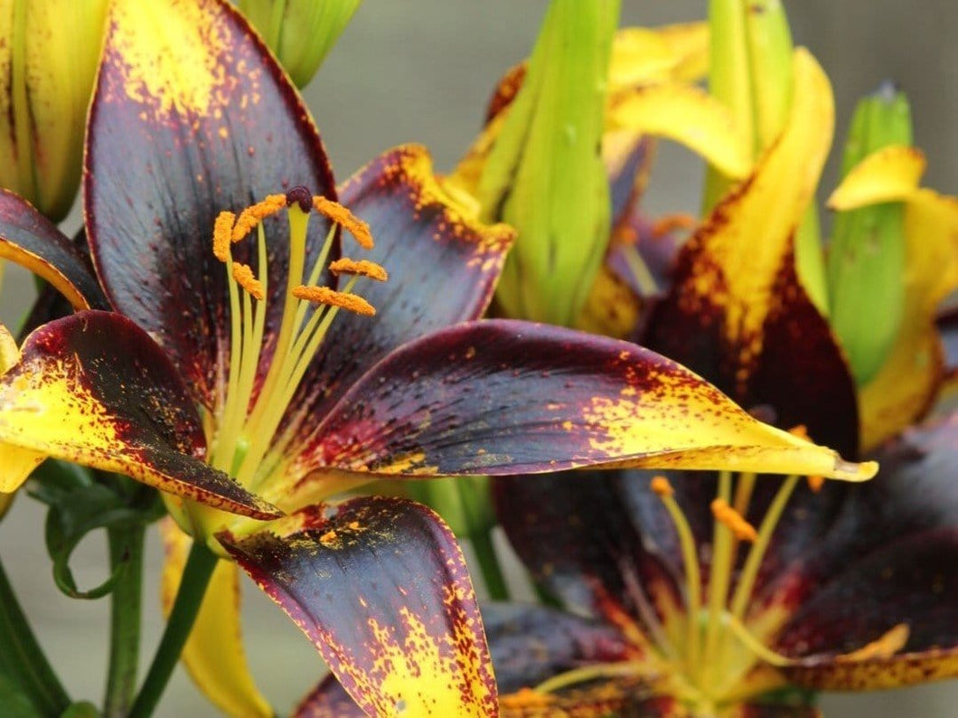 Asiatic Lily Lionheart - LifeForce Seeds