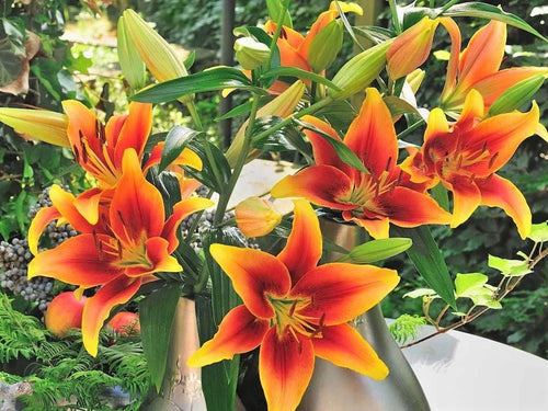 Asiatic Lily Kaveri -  Organic Heirloom vegetable seed Australia LifeForce Seeds