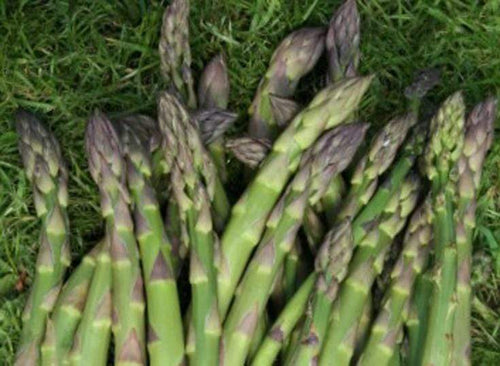 Asparagus Connover's Colossal - LifeForce Seeds