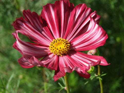 Cosmos, Velouette -  Organic Heirloom vegetable seed Australia LifeForce Seeds