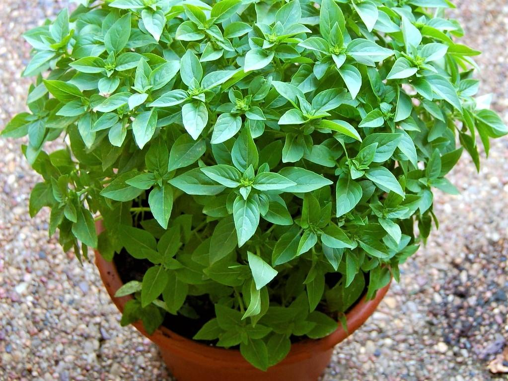 Basil Greek Dwarf -  Organic Heirloom vegetable seed Australia LifeForce Seeds