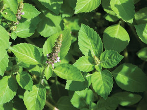 Basil Holy Green/ Sacred -  Organic Heirloom vegetable seed Australia LifeForce Seeds