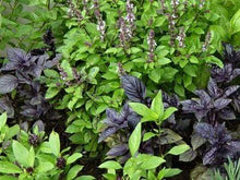 Load image into Gallery viewer, Basil Aroma Mix - LifeForce Seeds