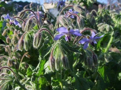 Borage Blue Flowered -  Organic Heirloom vegetable seed Australia LifeForce Seeds