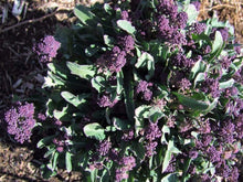 Load image into Gallery viewer, Broccoli Purple Sprouting -  Organic Heirloom vegetable seed Australia LifeForce Seeds