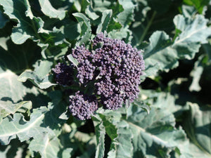 Broccoli Purple Sprouting -  Organic Heirloom vegetable seed Australia LifeForce Seeds