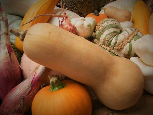 Pumpkin, Butternut -  Organic Heirloom vegetable seed Australia LifeForce Seeds