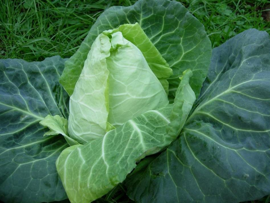 Cabbage Sugarloaf - Early jersey wakefield -  Organic Heirloom vegetable seed Australia LifeForce Seeds