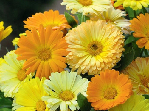 Calendula, Pacific Beauty Mix -  Organic Heirloom vegetable seed Australia LifeForce Seeds