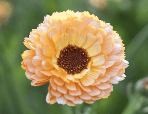Calendula, Pink Surprise -  Organic Heirloom vegetable seed Australia LifeForce Seeds
