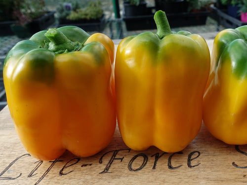 Capsicum, Sunbright Yellow Bell x 3pots - LifeForce Seeds