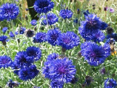 Centaurea, Blue Boy -  Organic Heirloom vegetable seed Australia LifeForce Seeds