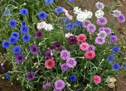 Centaurea Choice Mix -  Organic Heirloom vegetable seed Australia LifeForce Seeds