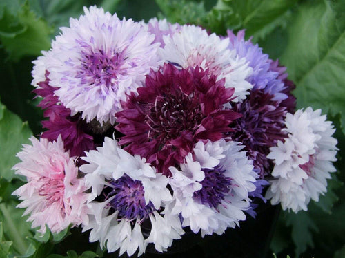 Centaurea Frosty Mix -  Organic Heirloom vegetable seed Australia LifeForce Seeds