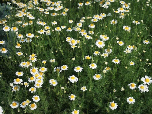 Chamomile Roman -  Organic Heirloom vegetable seed Australia LifeForce Seeds