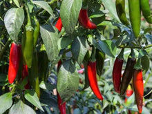 Load image into Gallery viewer, Chilli, Serrano Tampiqueno -  Organic Heirloom vegetable seed Australia LifeForce Seeds