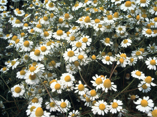 Chamomile German -  Organic Heirloom vegetable seed Australia LifeForce Seeds