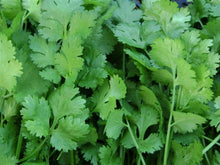 Load image into Gallery viewer, Coriander, Slow Bolt -  Organic Heirloom vegetable seed Australia LifeForce Seeds