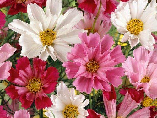 Cosmos, Seashells Mix -  Organic Heirloom vegetable seed Australia LifeForce Seeds