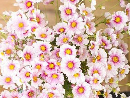 Cosmos, Daydream -  Organic Heirloom vegetable seed Australia LifeForce Seeds
