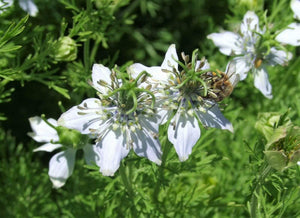 Cumin, Black -  Organic Heirloom vegetable seed Australia LifeForce Seeds