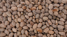 Load image into Gallery viewer, Bean Bush Blue Speckled Tepary -  Organic Heirloom vegetable seed Australia LifeForce Seeds