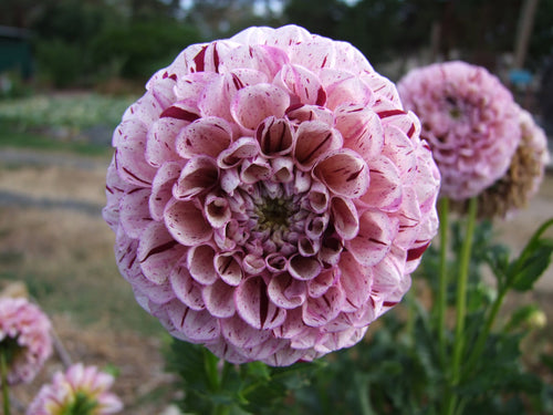 Dahlia Wine Dot -  Organic Heirloom vegetable seed Australia LifeForce Seeds