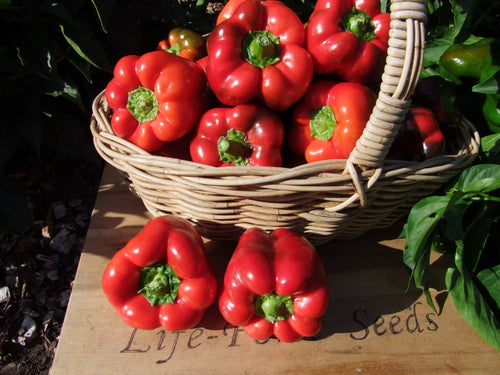 Capsicum, Chinese Giant x 3 pots - LifeForce Seeds