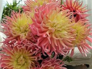 Dahlia Villandry -  Organic Heirloom vegetable seed Australia LifeForce Seeds