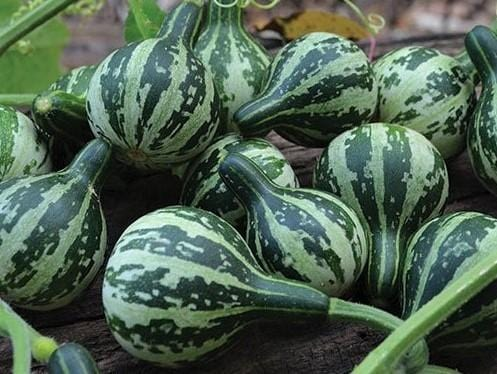 Gourd, Dancing / Tennessee Spinning -  Organic Heirloom vegetable seed Australia LifeForce Seeds