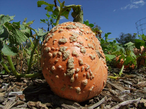 Pumpkin, Galeux D'eysines -  Organic Heirloom vegetable seed Australia LifeForce Seeds