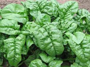Spinach Giant Noble -  Organic Heirloom vegetable seed Australia LifeForce Seeds