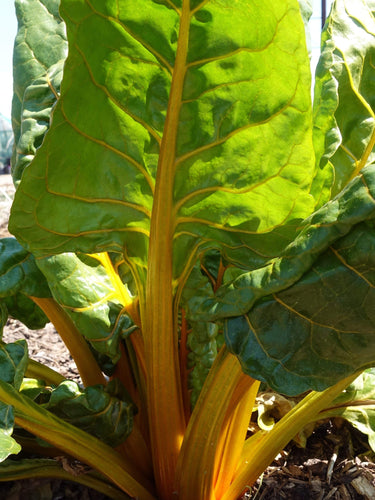 Silverbeet/ Swiss Chard Golden Sunrise -  Organic Heirloom vegetable seed Australia LifeForce Seeds