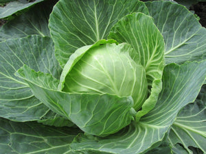 Cabbage Golden Acre -  Organic Heirloom vegetable seed Australia LifeForce Seeds