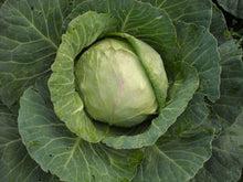 Load image into Gallery viewer, Cabbage Golden Acre -  Organic Heirloom vegetable seed Australia LifeForce Seeds